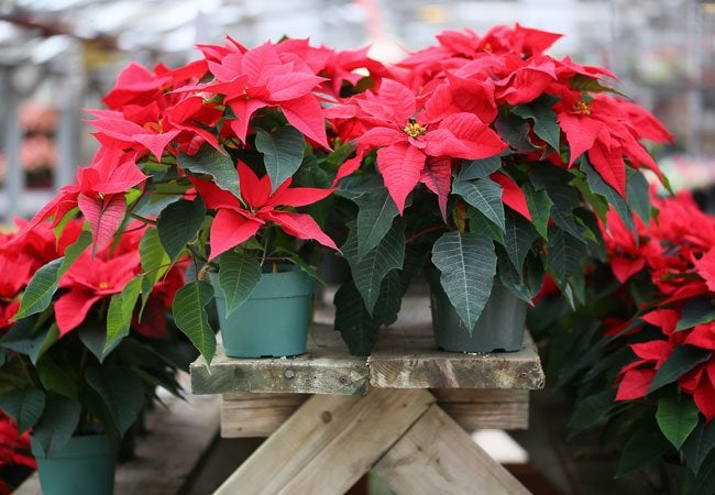 Poinsettia Care - Do's and Don'ts