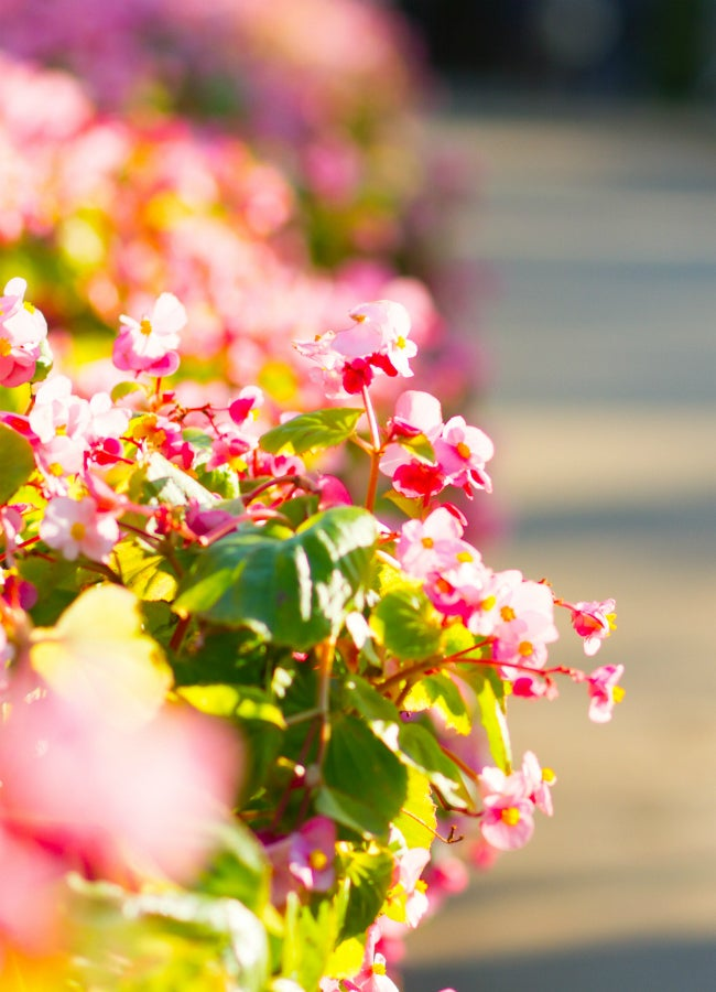 Begonia Care All You Need To Know Bob Vila