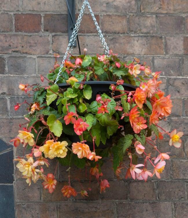Begonia Care Hanging Basket