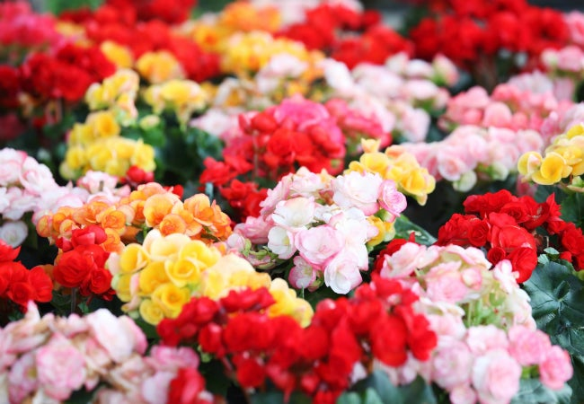 Begonia Care - Varieties