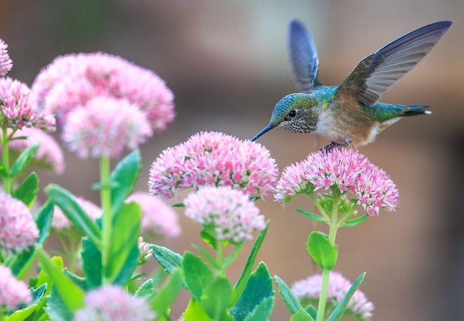 How To Attract Hummingbirds