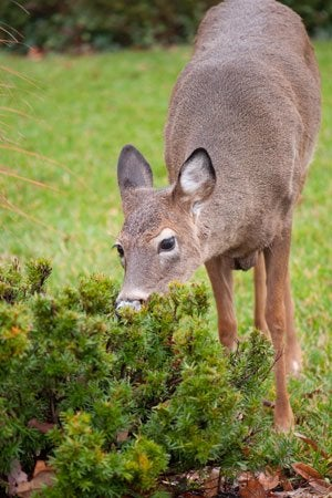 How to Make and Use Homemade Deer Repellent