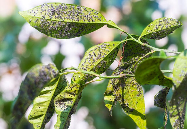 How To Get Rid Of Aphids Bob Vila