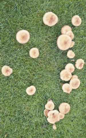 Treating Lawn Fungus - Mushrooms