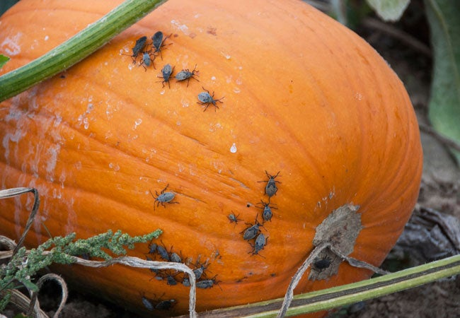 How to Get Rid of Squash Bugs