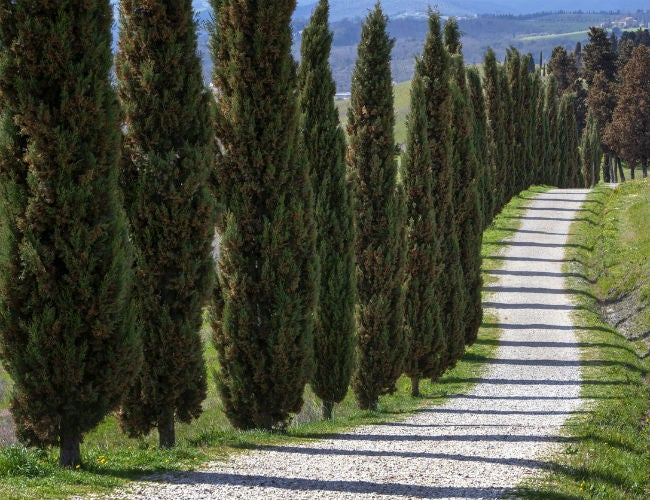 Fast-Growing Evergreen Trees - Italian Cypress