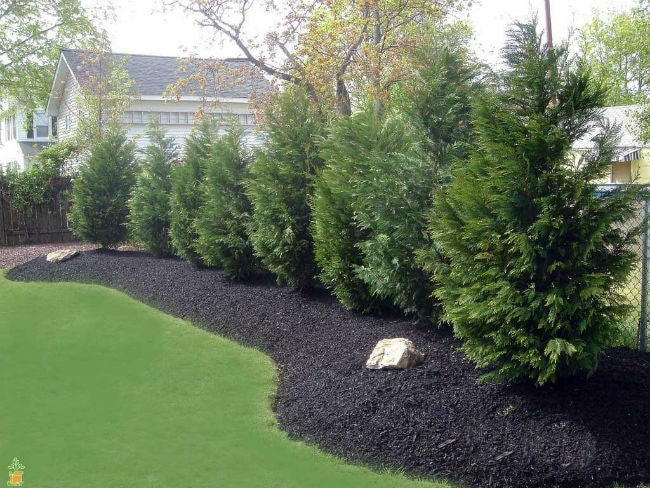 Your Best Options for Fast-Growing Evergreen Trees
