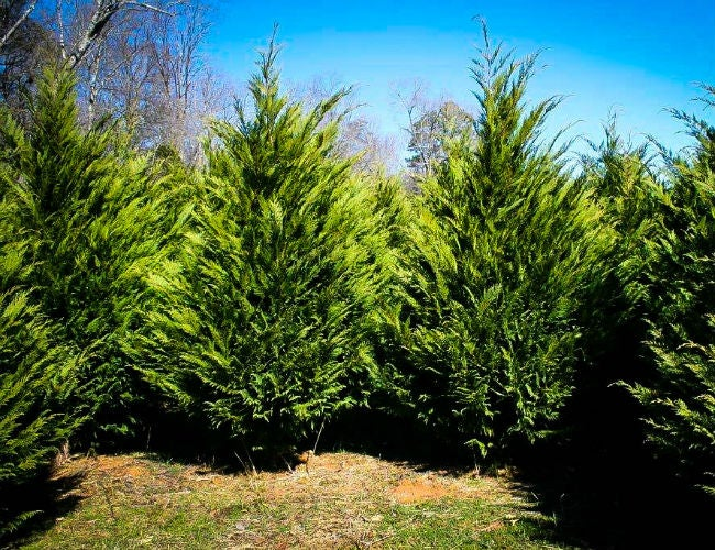 Fast-Growing Evergreen Trees - Murray Cypress