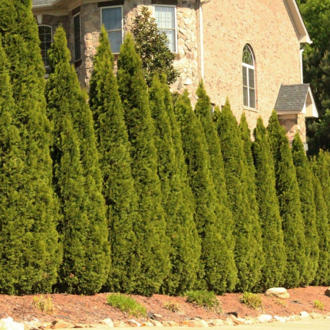 Fast Growing Evergreen Trees Thuja Green Giants