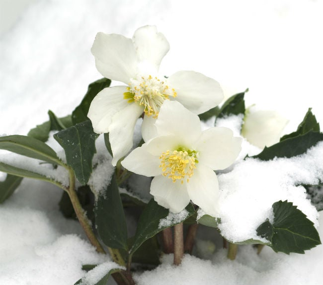 8 Colorful Winter Flowers to Know - The Christmas Rose