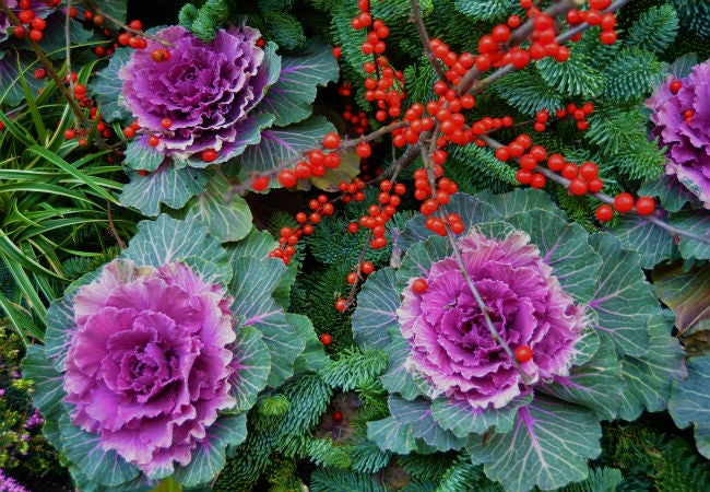 8 Colorful Winter Flowers to Know - The Ornamental Kale