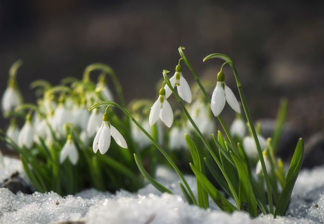 8 Winter Flowers To Brighten Your Snowy Garden Bob Vila