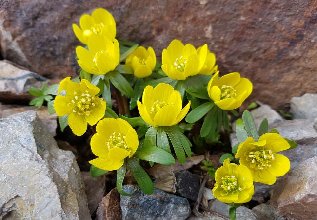 8 Colorful Winter Flowers to Know - The Winter Aconite
