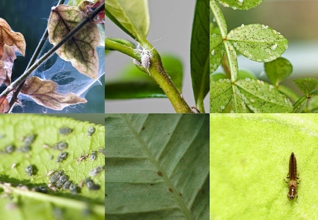 Houseplant Pests