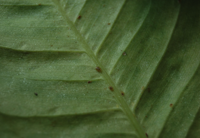 Houseplant Pests - Scale Insects