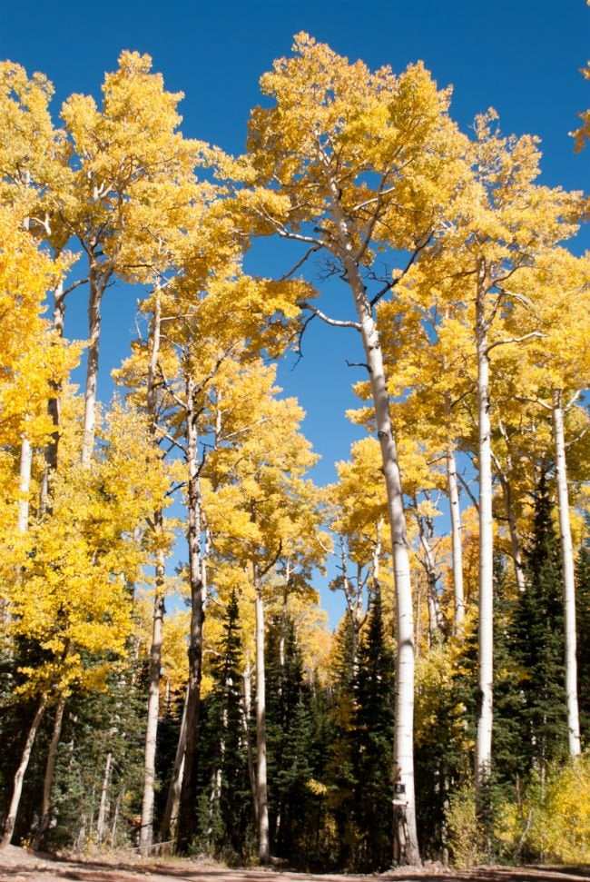 4 Trees with White Bark - The American Aspen