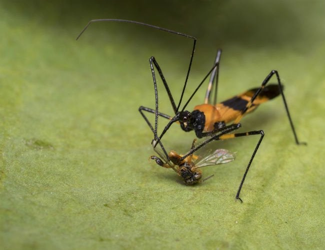 What Are Assassin Bugs? All You Need to Know About These Beneficial Bugs