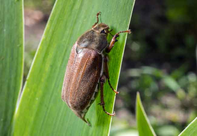 how to get rid of pittosporum bug