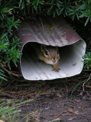 How to Get Rid of Chipmunks in the Backyard