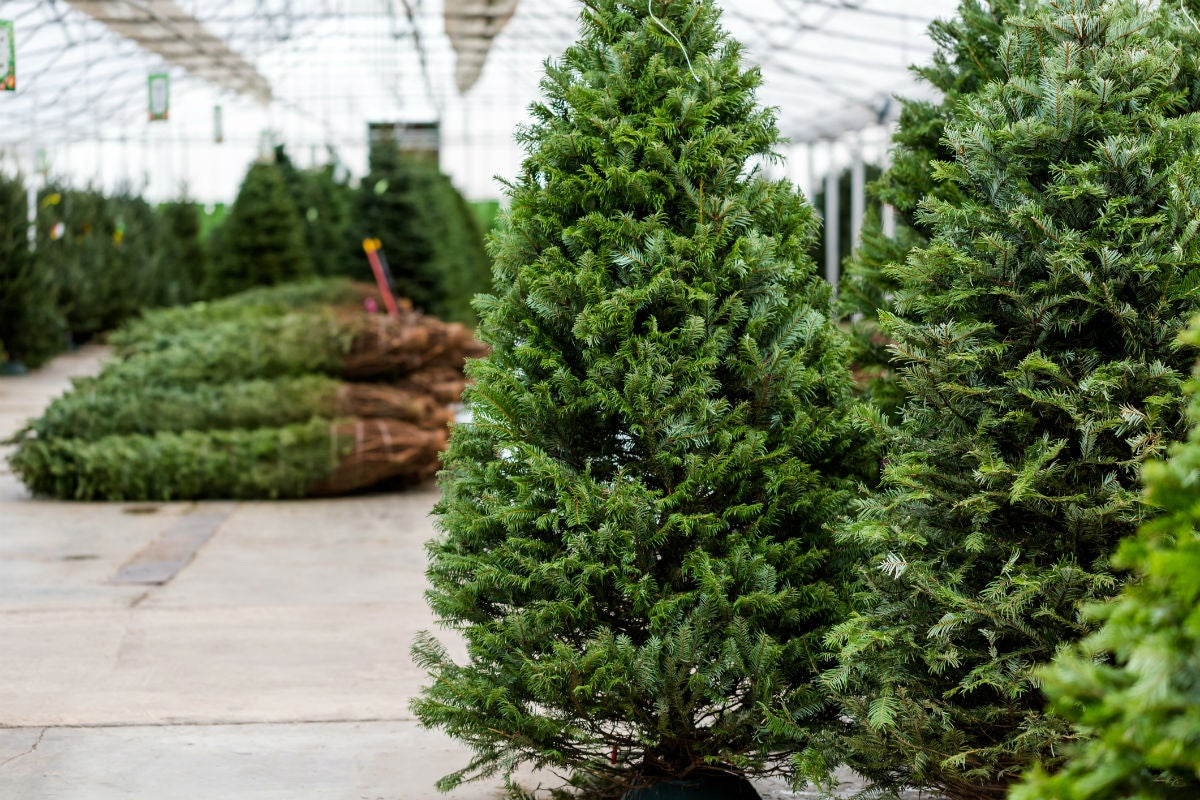 How Long Does a Christmas Tree Last, Actually? Solved ...