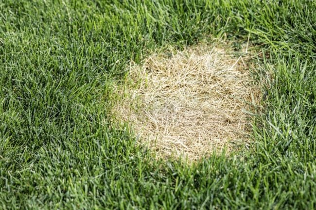 How to Recognize and Repair Chinch Bug Damage