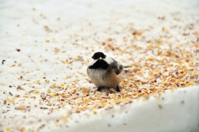Don't Forget to Clean Up When Feeding Birds in Winter