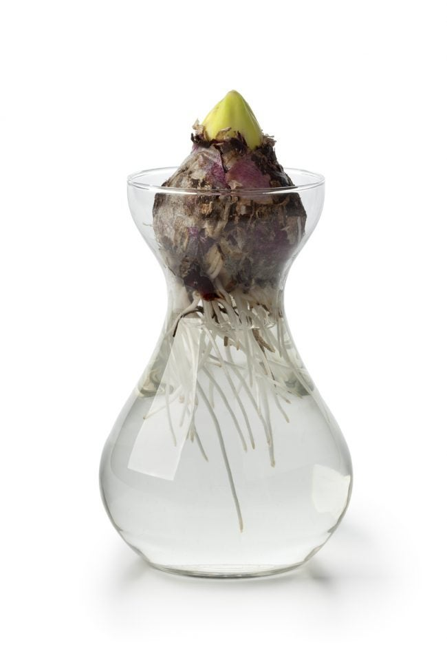 Forcing Bulbs of Hyacinth to Grow in Water