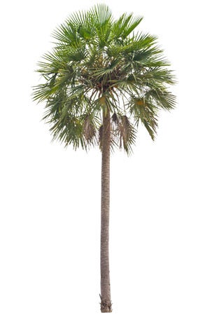 Types of Palm Trees: Caranday palm (Copernicia alba)