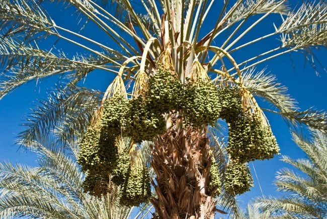 Types of Palm Trees: Date Palms (Phoenix spp.)