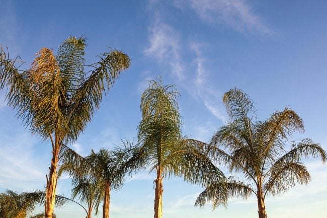 Types of Palm Trees: Foxtail Palm (Wodyetia bifurcata)