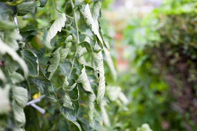 Tomato Plant Problems: Leaf Roll
