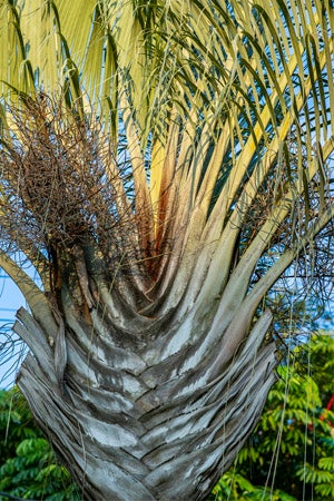 Types of Palm Trees: Triangle Palm (Dypsis decaryi)