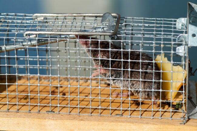 Best Rat Trap Options