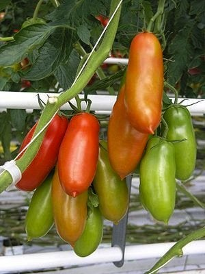 Growing Tomatoes - San Marzano