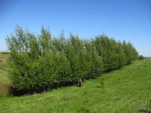 Growing Hedgerows - Windbreak