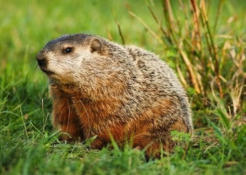 How to Keep Groundhogs Out of the Garden