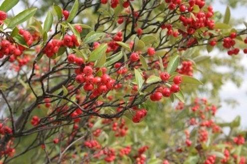 Fall Bushes - Chokeberries