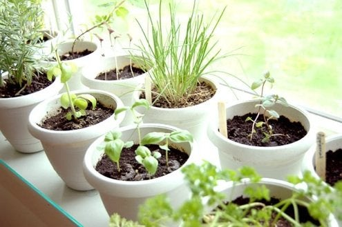 Grow Herbs Indoors Potted Herb Garden