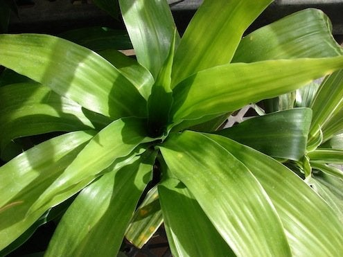 Plants to Improve Indoor Air Quality - Dracaena