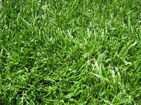Grass Alternatives   Fescue