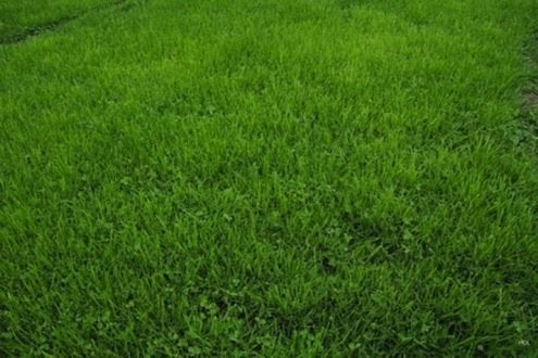 Grass Alternatives - Microclover