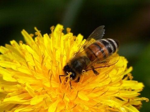Local Honey - Honeybee