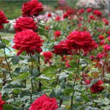 Livingintheo-big-red-roses-1_thumbnail