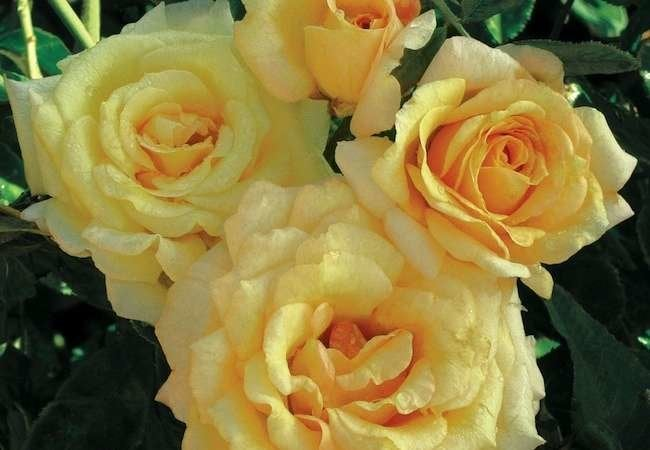 Roses: 11 Sensational Varieties to Consider