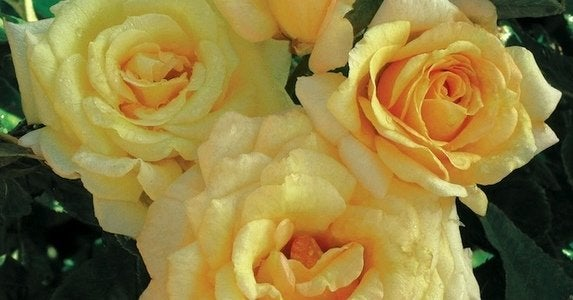 Roses 11 sensational varieties jacksonandperkins