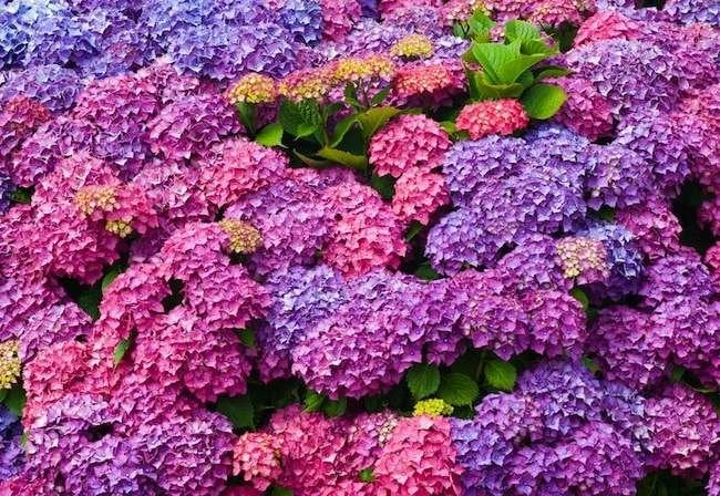 10 Hydrangea Show-Stoppers