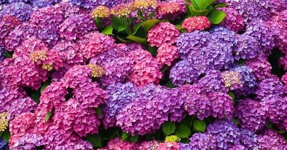 10 hydrangea show stoppers