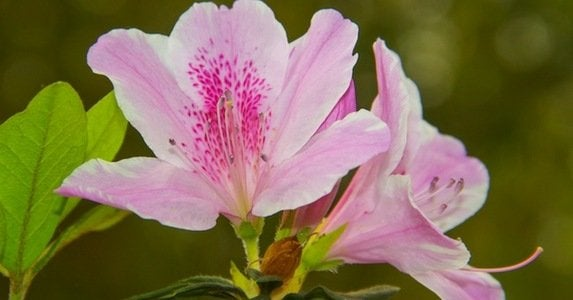 8 reasons to love azaleas