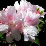 Planting azaleas