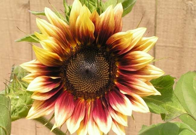 10 Not-to-Be-Missed Sunflower Blooms